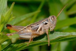Grasshopper - Cricket - Katydid