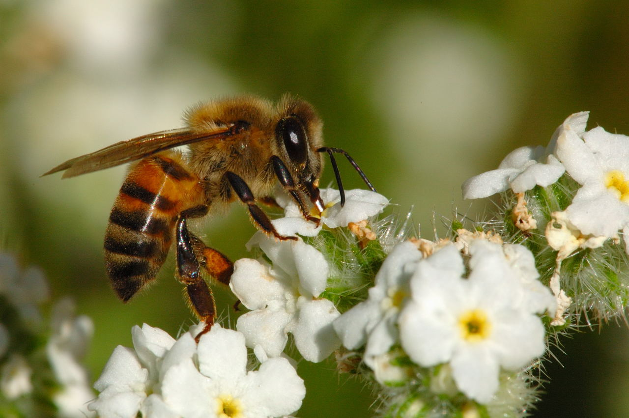 Honey Bee Pictures - photo#27