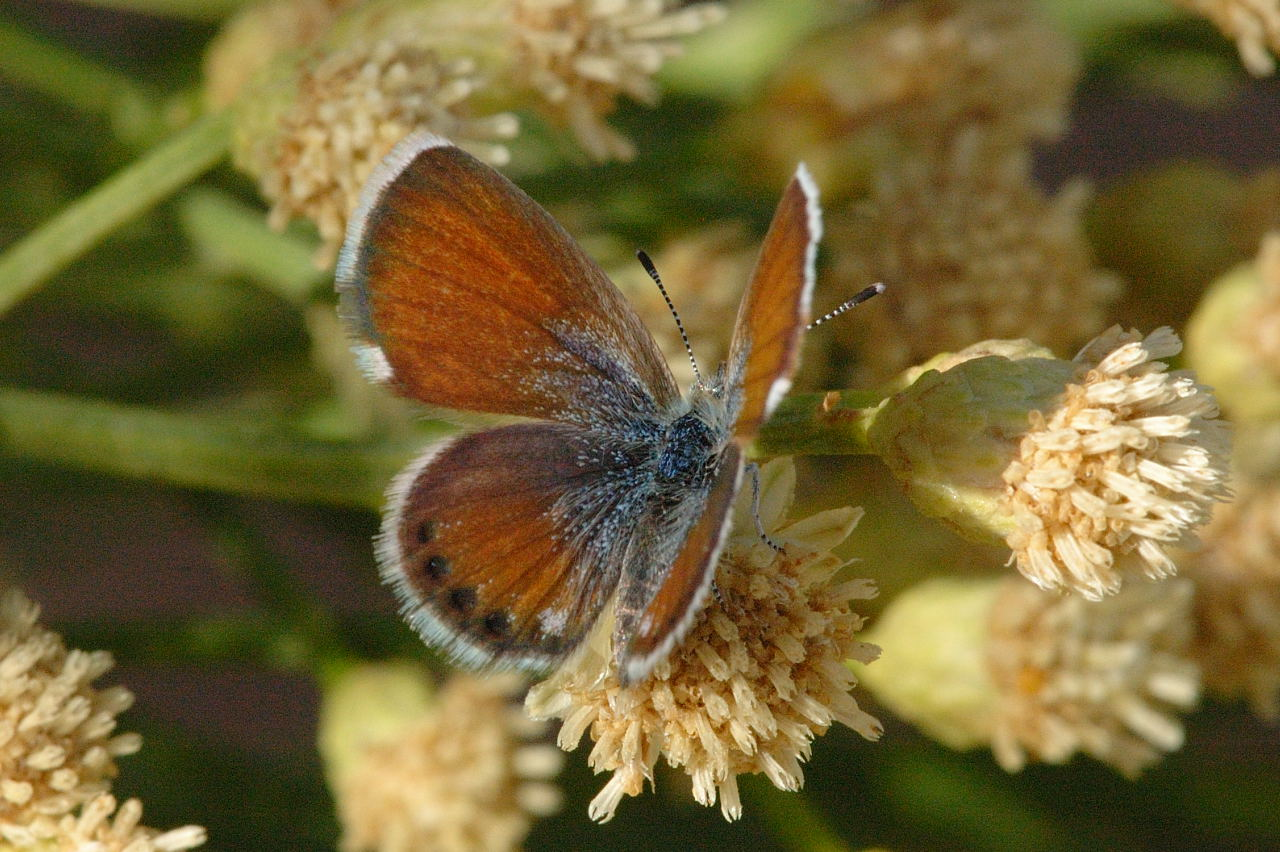 Western pygmy blue butterfly - photo#4