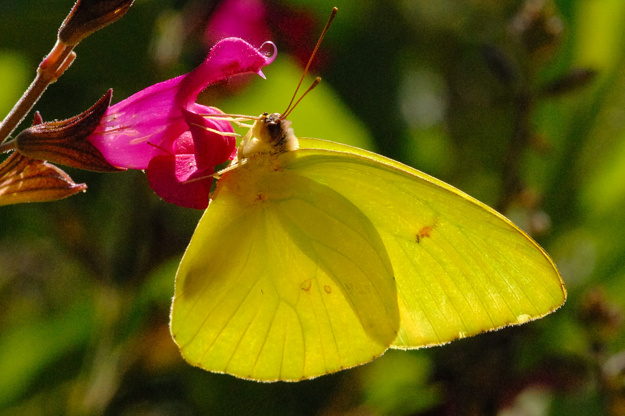 Clouded Sulphur Colias philodice Godart, 1819 ... |Clouded Sulphur Butterfly
