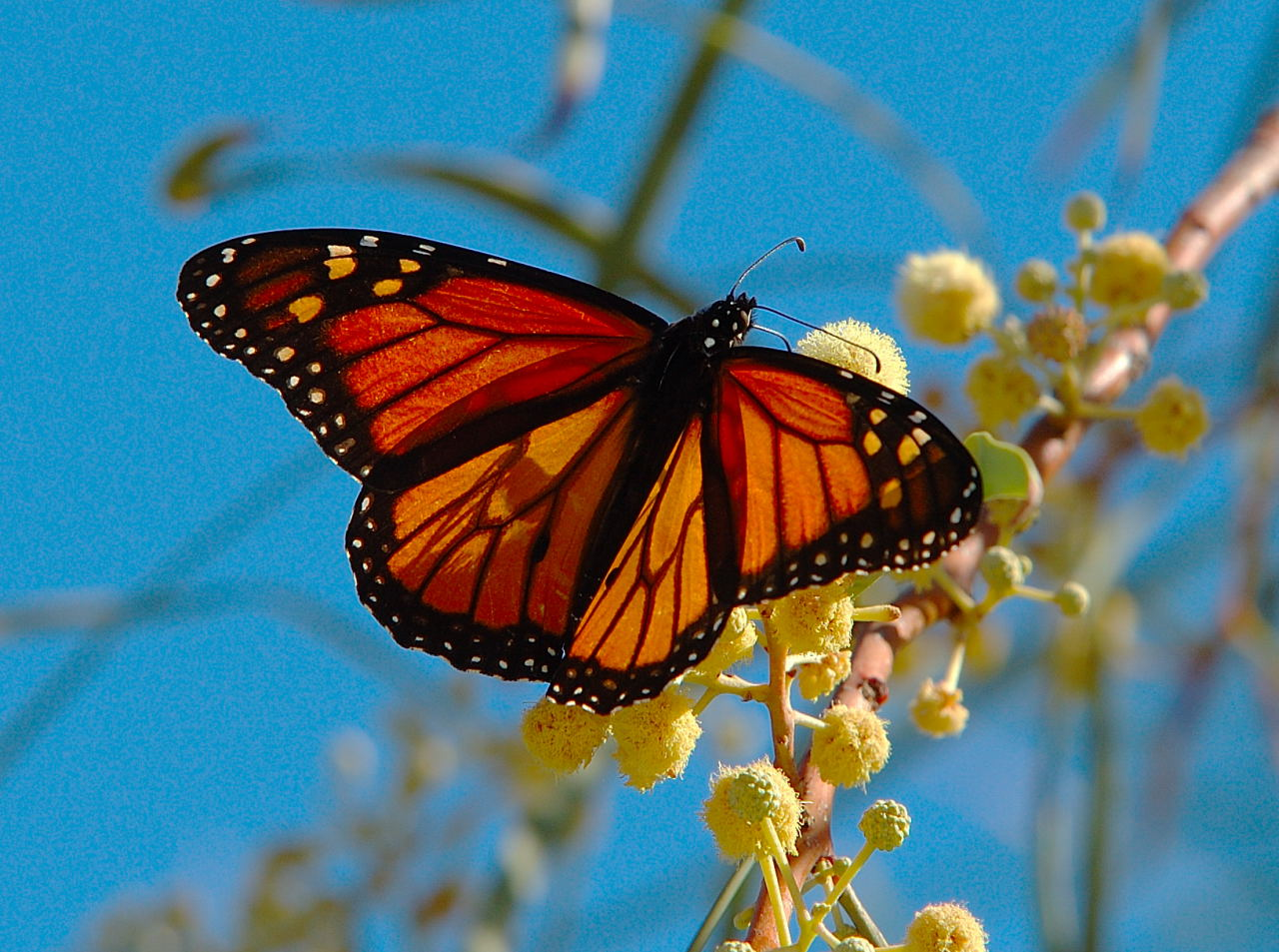 Monarch Butterfly Pictures Pictures Of Butterflies