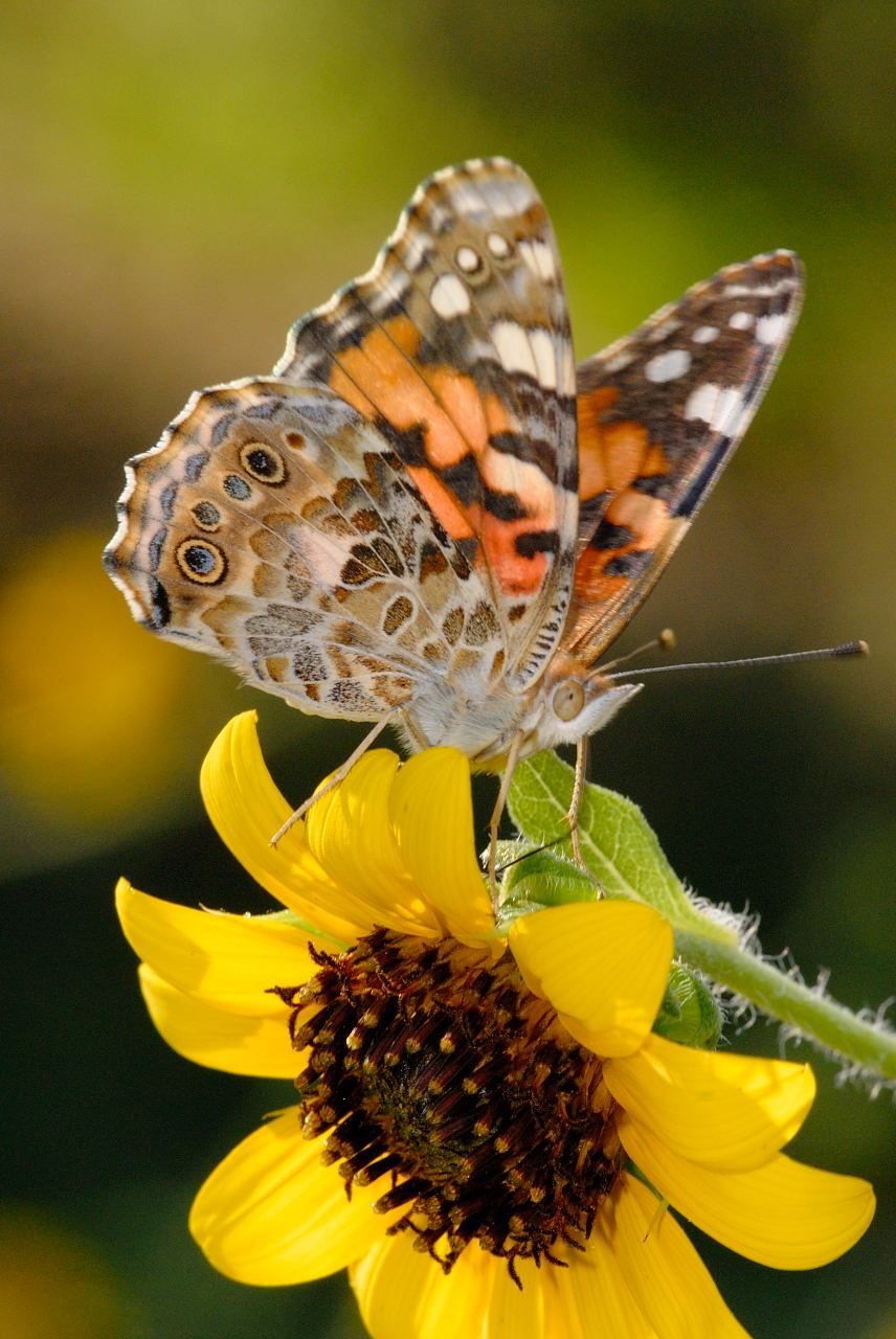 Vanessa Butterfly Pictures
