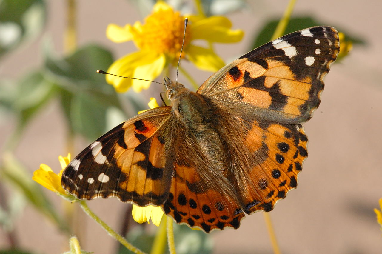 Pictures Of Painted Lady Butterfly Life Cycle
