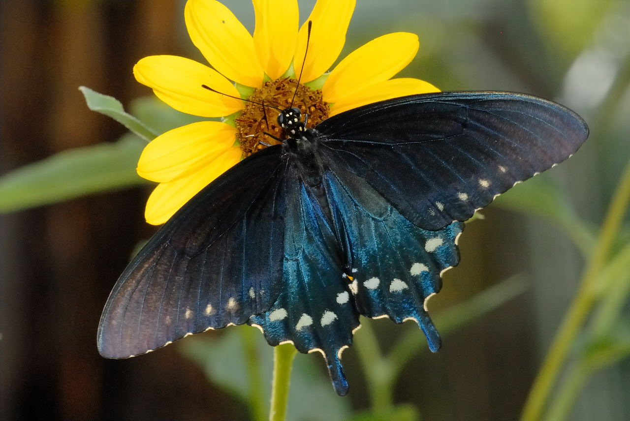 Pipevine Swallowtail: Facts, Characteristics, Habitat and ... |Pipevine Swallowtail Butterfly
