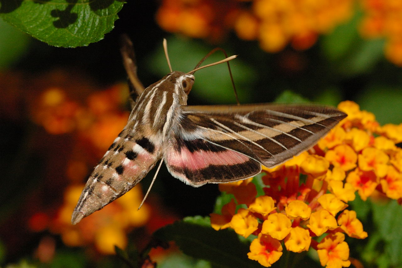 adult white-lined sphinx moth