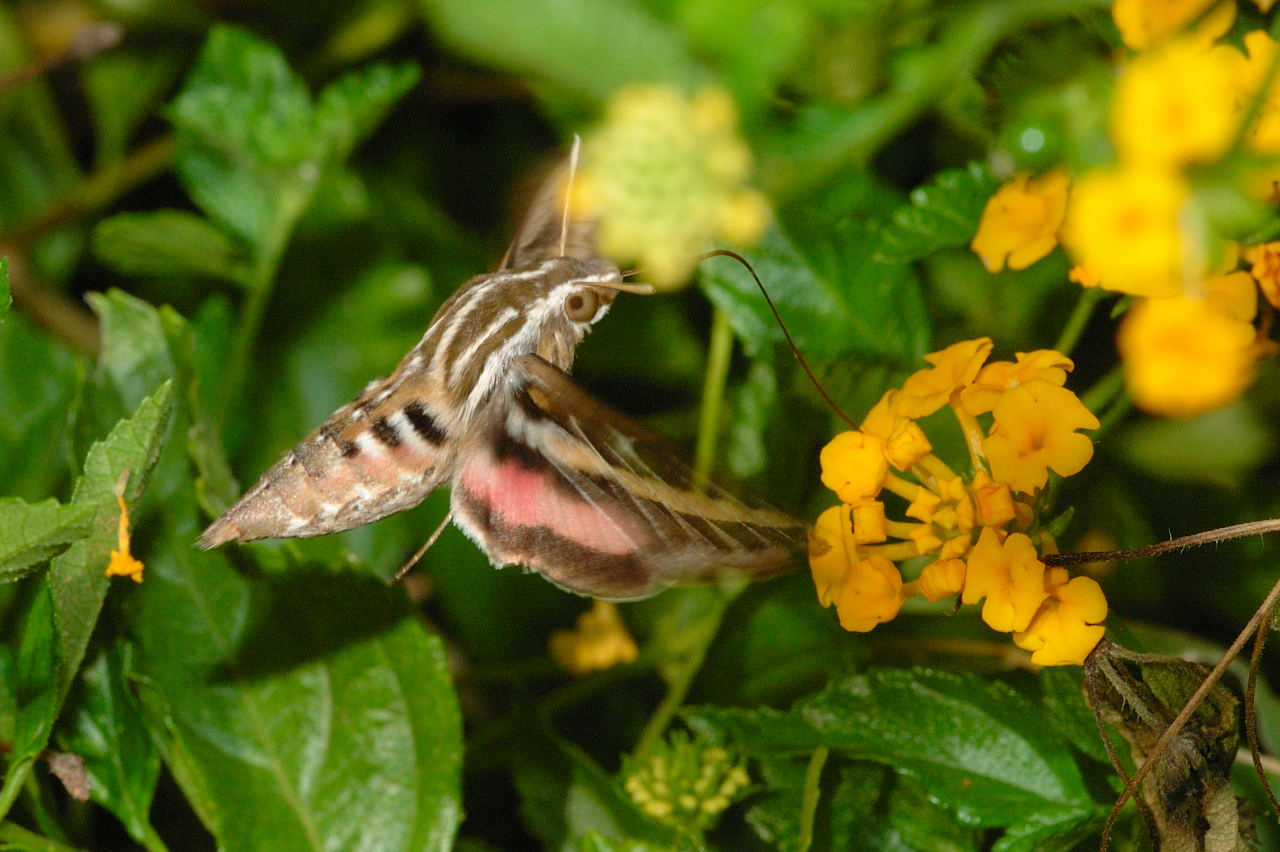 White lined sphinx moth life cycle - photo#27